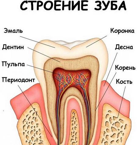 Structure des dents